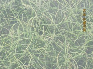 hierba marina