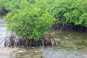 manglares 2